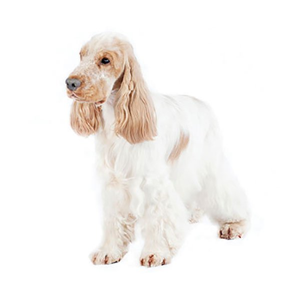 price guide for everything a cocker spaniel needs
