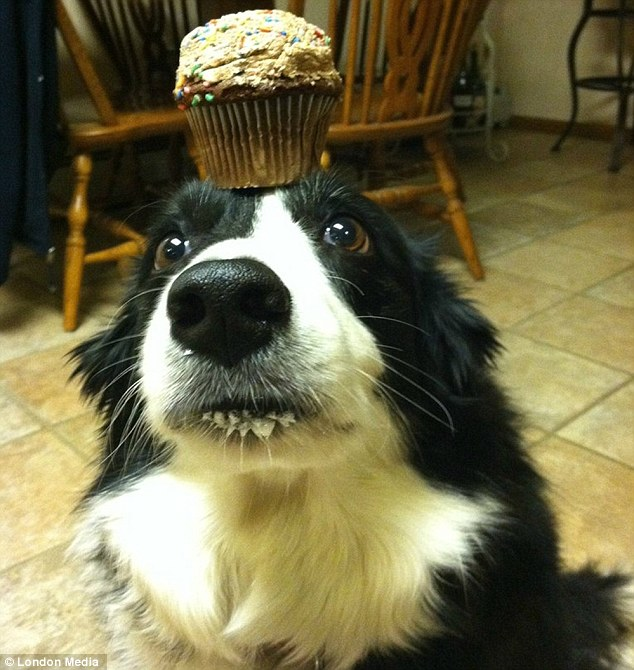 border collie owners guide book