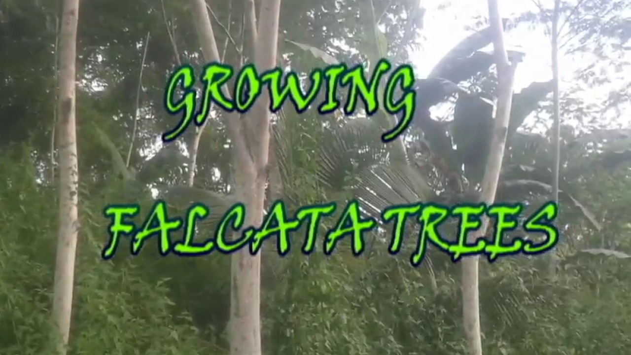 falcata tree planting guide pdf