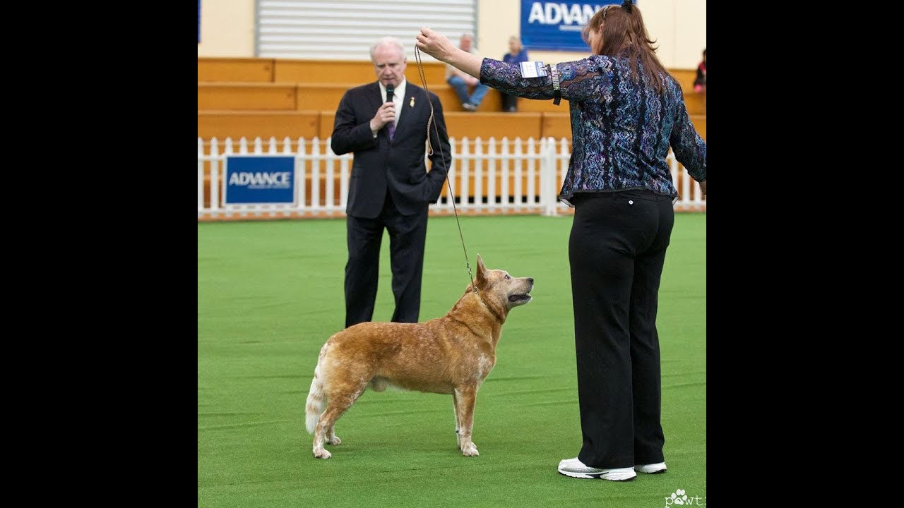 royal adelaide show dog guide