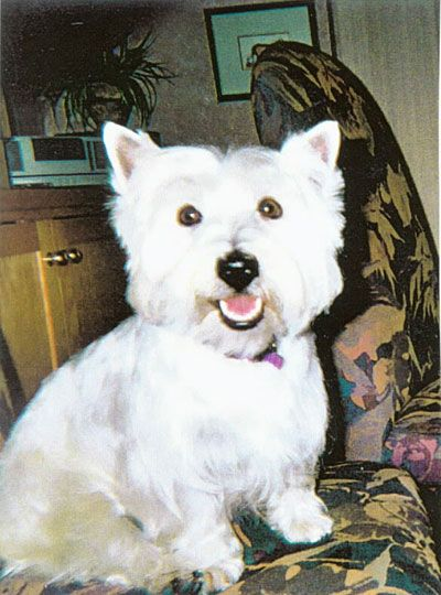west highland terrier care guide